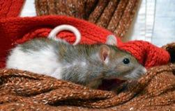 Rat drôle parmi les écharpes chaudes photos stock