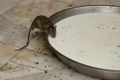 Rat drinking Milk  in Karni Mata Temple in Deshnok Stock Photo