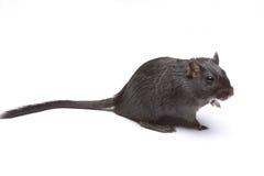 rat drôle Photographie stock