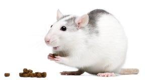 Rat eating Stock Image