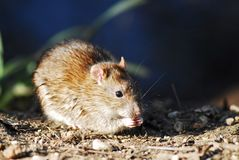 Rat eating. On a ground Royalty Free Stock Image