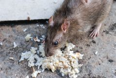 A rat eating Royalty Free Stock Image