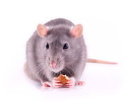Rat eating almonds Royalty Free Stock Image