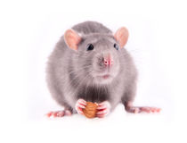 Rat eating almonds Royalty Free Stock Photos