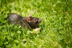 Rat eating cake Stock Photo