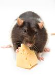 Rat eating cheese Stock Images
