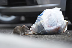 A rat eating from a garbage bag Stock Photography