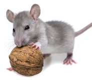 Rat eating a nut. A rat eating a nut Royalty Free Stock Photography