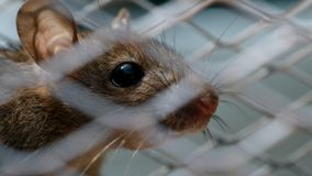 Rat eating something in metal trap