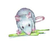 Rat eating verdure Royalty Free Stock Image