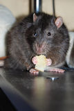 Rat eats. Large brown rat is holding a piece of bread in his paws Royalty Free Stock Images