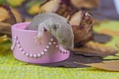 Rat in een doos Weinig muis in een roze doos stock afbeelding