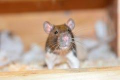 Rat in een kooi Royalty-vrije Stock Fotografie