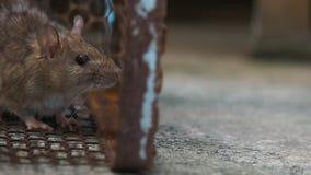 Rat in een kooi die een rat vangen de muis heeft besmetting de ziekte aan mensen zoals Leptospirosis, Plaag Huizen en woningensho stock footage