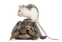 Rat en de schildpad van Hermann, hermanni Testudo stock fotografie