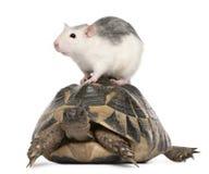 Rat en de schildpad van Hermann, hermanni Testudo royalty-vrije stock afbeeldingen
