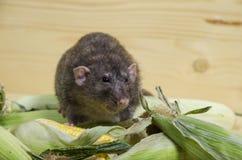 Rat en graan royalty-vrije stock afbeelding
