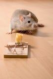 Rat en kaas Stock Afbeelding