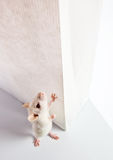 Rat en witte zak Royalty-vrije Stock Fotografie