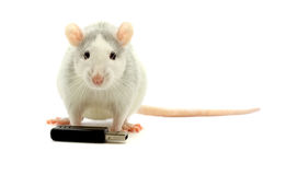 Rat end usb. Rat and usb-flash on a white background Royalty Free Stock Photos