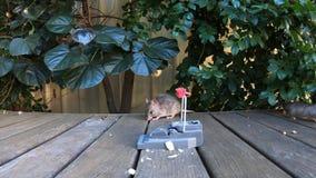 Rat escapes a rat trap