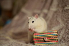 Rat et boîte blancs Photographie stock