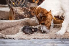 Rat et chiens domestiques Jack Russell Terrier de Brown Photos libres de droits