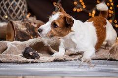 Rat et chiens domestiques Jack Russell Terrier de Brown Photo stock