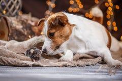 Rat et chiens domestiques Jack Russell Terrier de Brown Photos stock