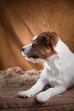Rat et chiens domestiques Jack Russell Terrier de Brown Photographie stock