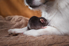 Rat et chiens domestiques Jack Russell Terrier de Brown Photographie stock libre de droits