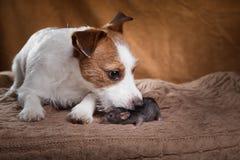 Rat et chiens domestiques Jack Russell Terrier de Brown Images libres de droits