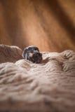 Rat et chiens domestiques Jack Russell Terrier de Brown Image libre de droits