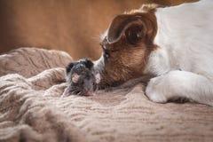 Rat et chiens domestiques Jack Russell Terrier de Brown Photo libre de droits