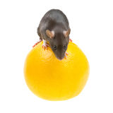 Rat et orange drôles sur le blanc Photos libres de droits