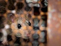 Rat fångas i en fällabur eller en fälla de smutsiga tjaller har smitta sjukdomen till människor liksom Leptospirosis, epidemi Hem Arkivbild
