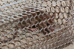Rat with fear in the cage. Rat caught in the cage trap with fear Royalty Free Stock Photography