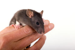 The Rat on the fingers Stock Images