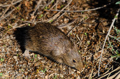 Rat_04 Stock Image