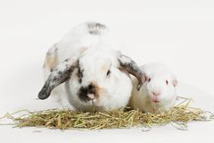 Rat and friend. Rabbit and guinea pig eating timothy hay grass Stock Photos