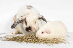 Rat and friend. Rabbit and guinea pig eating timothy hay grass royalty free stock photography