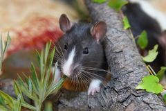 Rat in garden. Cute black and white hooded rat hiding in colorful foliage