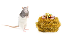 Rat and gift box Stock Photo