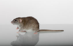 Rat on the glass Stock Image