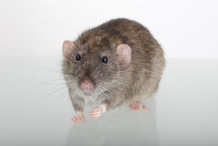 Rat on a glass table Royalty Free Stock Photography