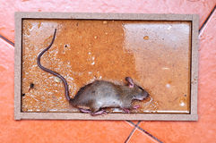 The rat is glue stick on the mousetrap Royalty Free Stock Photos