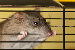 Rat gnawing cage Royalty Free Stock Photography