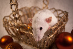 Rat in a golden basket. Pet rat Snofi and his cute whiskers Royalty Free Stock Photos