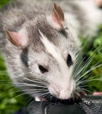 Rat in grass. Small domestic rat playing in the grass. Head with ears in detail Royalty Free Stock Image