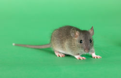 Rat on a green background. Very small rat on a green background Royalty Free Stock Photography